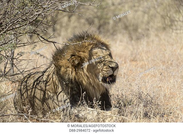 Africa, Southern Africa, South African Republic, Kalahari Desert, lion (Panthera leo), resting in the savannah