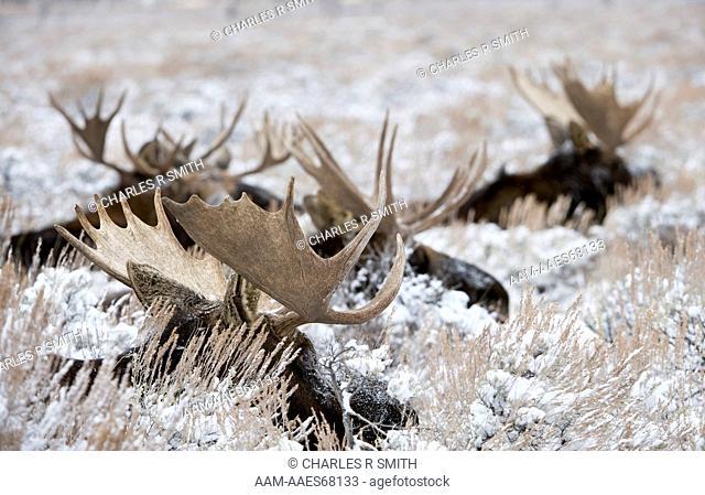 Bull Moose group in early winter snowfall in Grand Teton National Park, Wyoming 12/13/08 (alces americanus)