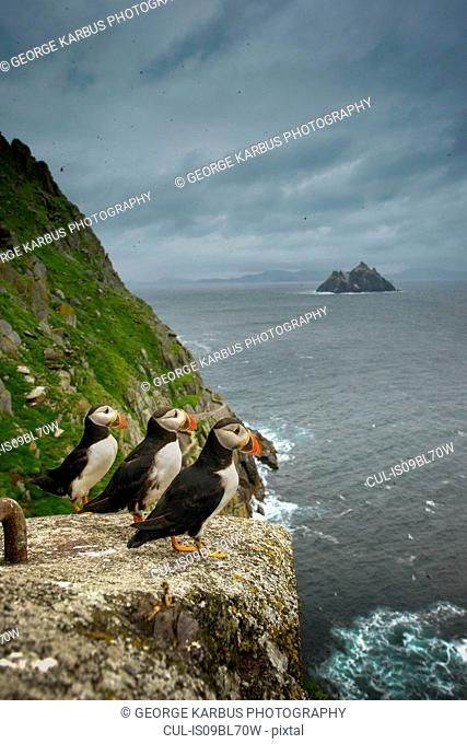 Puffins (Fratercula arctica) resting on rocks, Skellig Islands, Portmagee, Kerry, Ireland