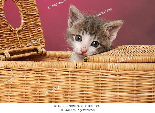 Small kitten poking her head up through a picnic basket