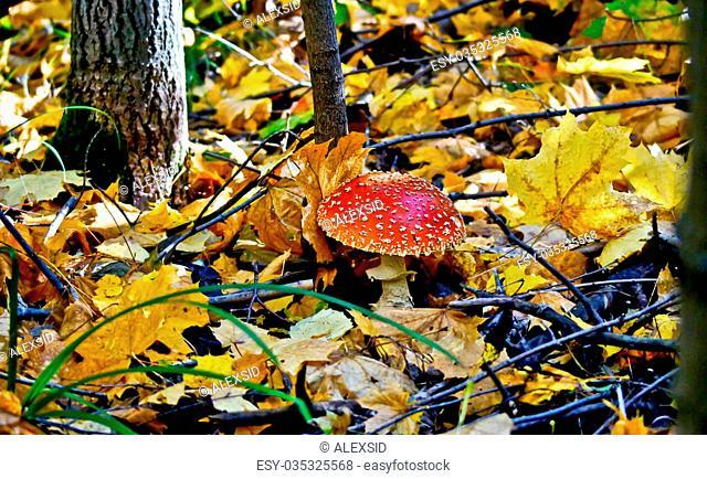 Autumn forest. Amanita mushroom of autumn foliage