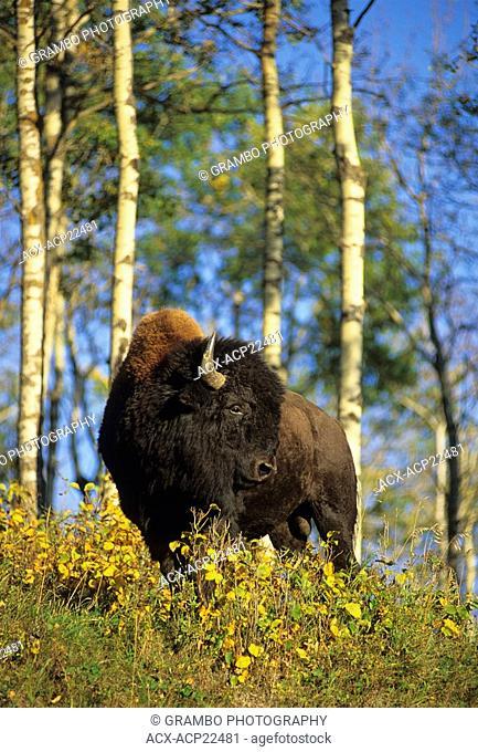 Plains bison, Elk Island National Park, Alberta, Canada