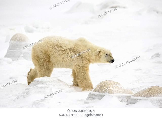 Polar Bear (Ursus maritimus) Wandering Hudson Bay coast waiting for sea ice