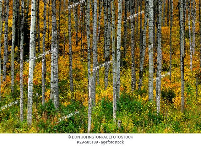 Aspen trees with autumn foliage in understory. Thunder Bay. Ontario