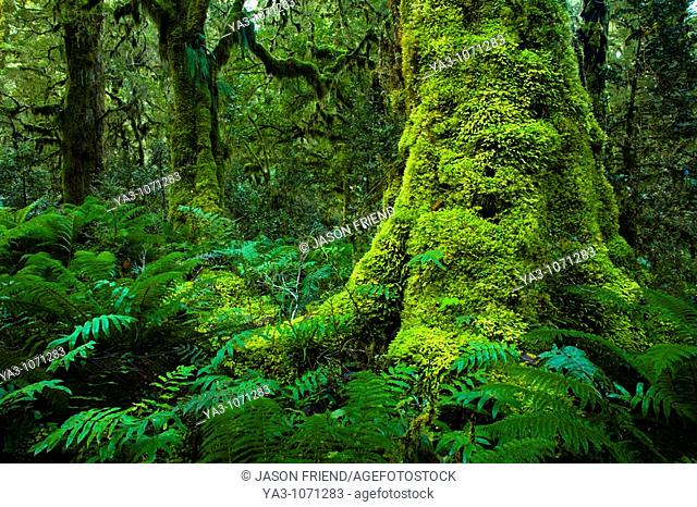 New Zealand, Southland, Fiordland National Park  Dense native woodland near the Upper Spey hut on the Dusky Track