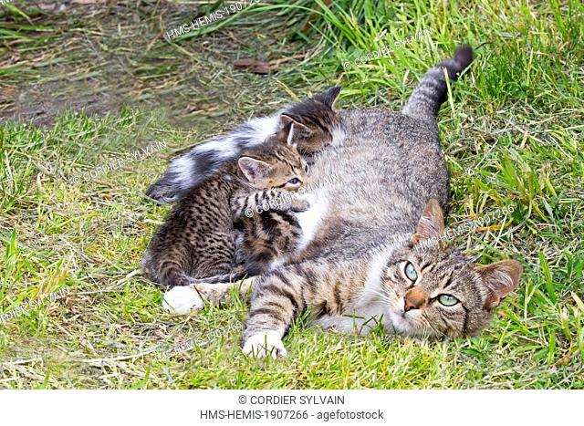 Chile, Patagonia, Magellan Region, Torres del Paine National Park, domestic cat, mother and youngs