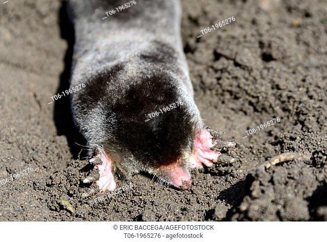 European Mole (Talpa europaea) digging back into the ground. Alsace, France