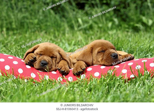 Labrador Retriever. Two puppies (6 weeks old) sleeping on a red cushion with white polka dots. Germany