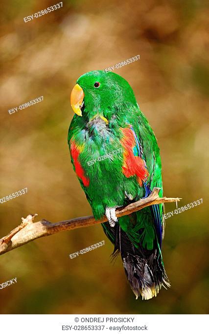 Eclectus Parrot, Eclectus roratus polychloros