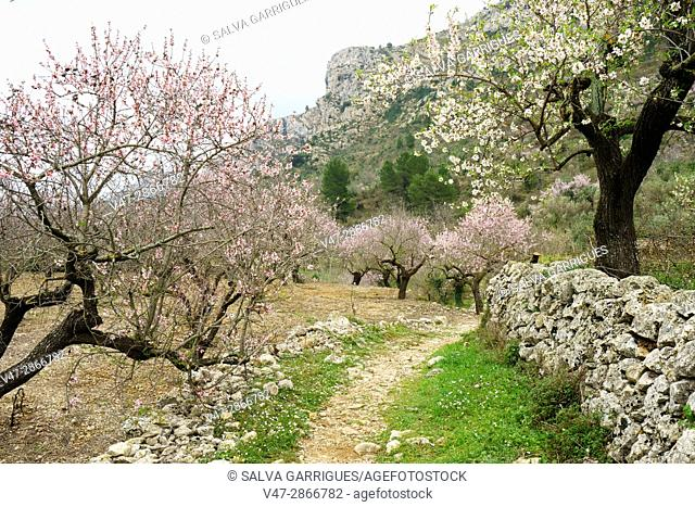 Almond trees in bloom in the Vall de Laguar, Benimaurell, province of Alicante, Valencia, Spain