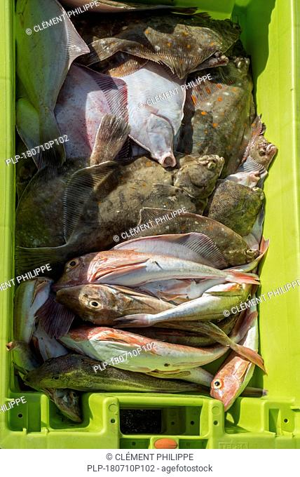 Plastic container with fresh fish catch like tub gurnard (Chelidonichthys lucerna) fishes and European plaice (Pleuronectes platessa) on quay in port
