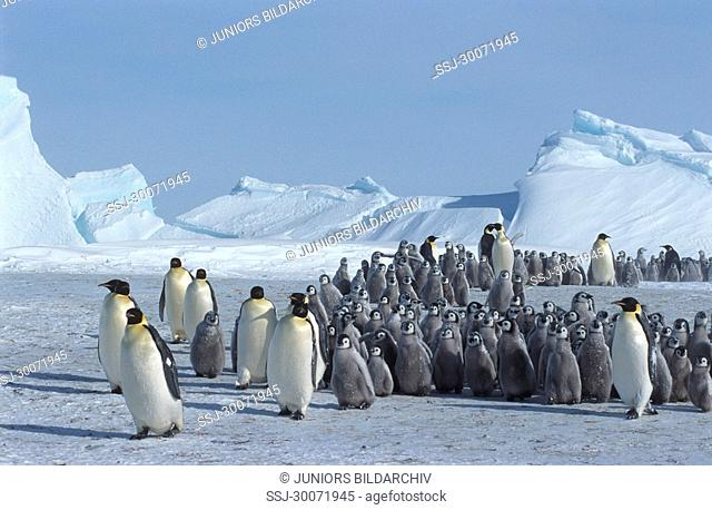 emperor penguins with pups Aptenodytes forsteri