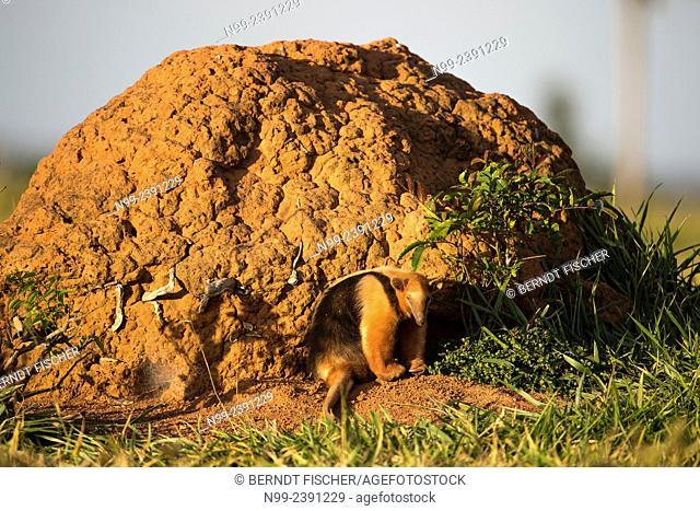 Collared anteater (Tamandua tetradactyla), sitting in front of termite hill, Mato Grosso do Sul, Brazil