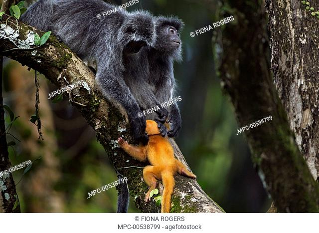 Silvered Leaf Monkey (Trachypithecus cristatus) female rescuing week old baby from other female who was handling it roughly, Bako National Park, Sarawak, Borneo