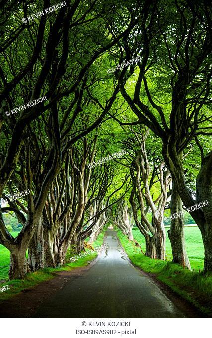 Tree lined road, Ballymoney, County Antrim, Northern Ireland