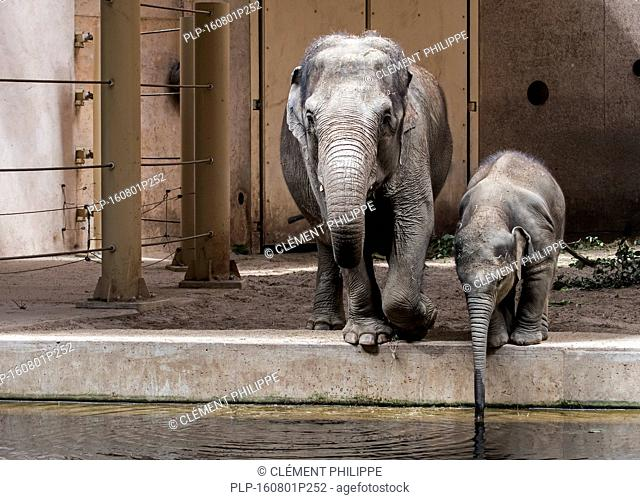 Asian elephant / Asiatic elephants (Elephas maximus) female with young drinking water in indoor enclosure in the Planckendael Zoo, Belgium