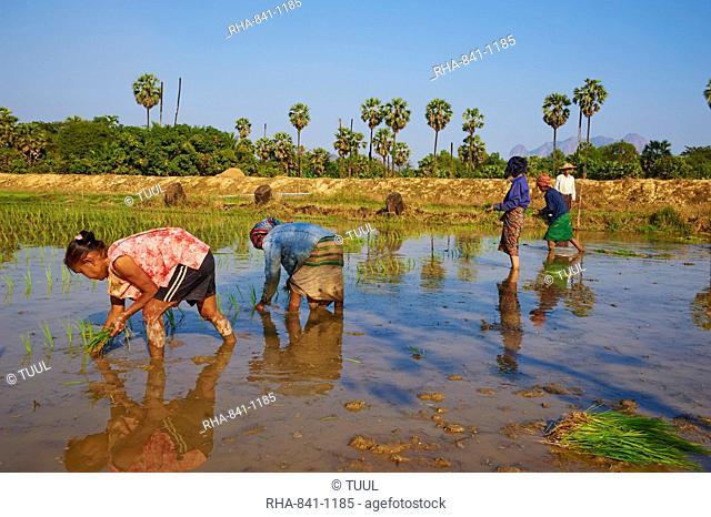 Rice field near Hpa-An, Karen State, Myanmar (Burma), Asia
