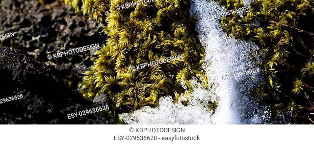 Closeup of fragile Icelandic moss in spring