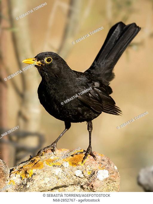 Blackbird (Turdus merula), Majorca, Balearic Islands, Spain