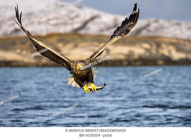 White-tailed eagle (Haliaeetus albicilla) flying with fish prey over water, Flatanger, Nord-Trøndelag, Norway