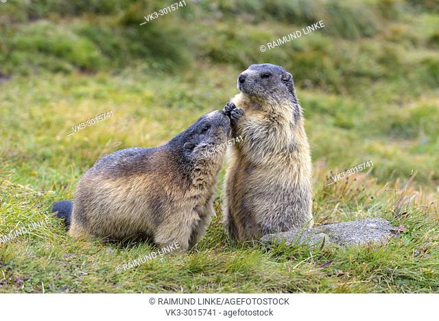 Alpine Marmot, Marmota marmota, two animals, Hohe Tauern National park, Austria