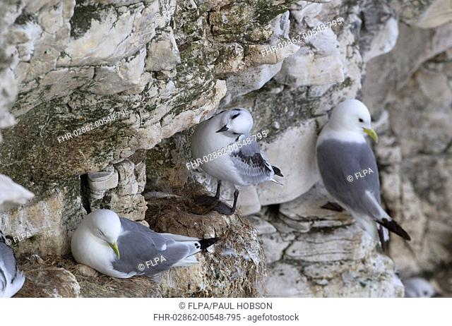 Kittiwake Rissa tridactyla adults and juvenile, nesting colony on cliff, Scotland, july