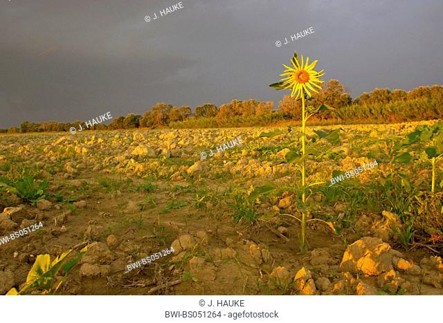 common sunflower (Helianthus annuus), single plant in front of dark sky, Italy, Tuscany
