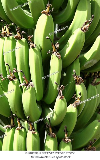 Green bananas in a field