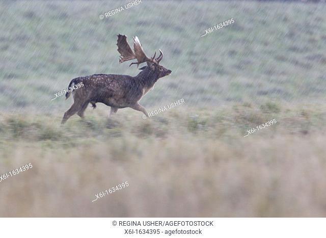 Fallow Deer Dama dama, Buck Running in Rain, Royal Deer Park, Klampenborg, Copenhagen, Sjaelland, Denmark