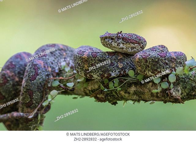 Eyelash viper, Bothriechis schlegelii lying in a tree at Laguna del lagarto, Boca Tapada, San Carlos, Costa Rica