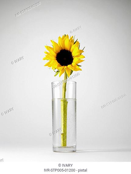Sunflower In Glass