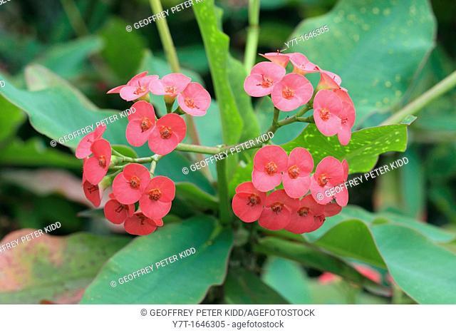 Euphorbia milii - Crown of Thorns