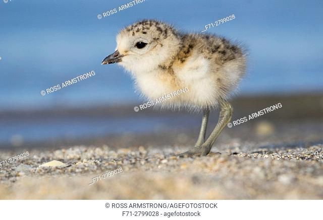 New Zealand dotterel/tuturiwhatu Charadrius obscurus chick. Waipu Wildlife Refuge, Northland, New Zealand