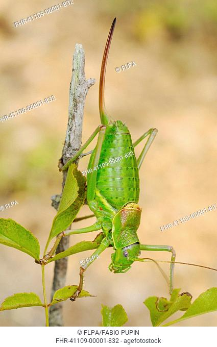 Bush-cricket Ephippiger zelleri adult female, climbing on twig, Italy, july