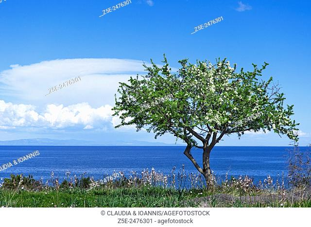 Wild pear tree - Pyrus pyraster - in bloom at the Aegean coast of Greece