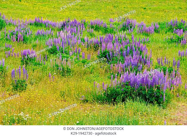 Lupines and aspens in the Mountain View meadows, Mt. Robson Provincial Park, British Columbia, Canada