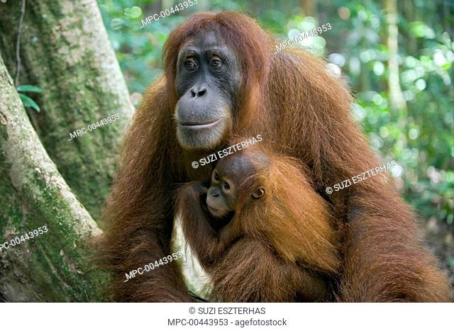Sumatran Orangutan (Pongo abelii) mother and one and a half year old baby, Gunung Leuser National Park, north Sumatra, Indonesia