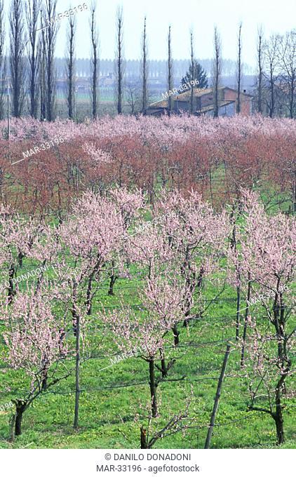 peach tress in blossom, carpi, italy