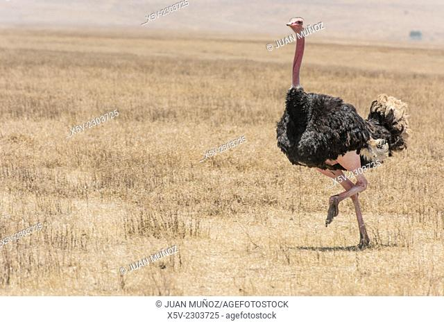 Male ostrich Struthio camelus running. Ngorongoro Crater. Tanzania. Africa
