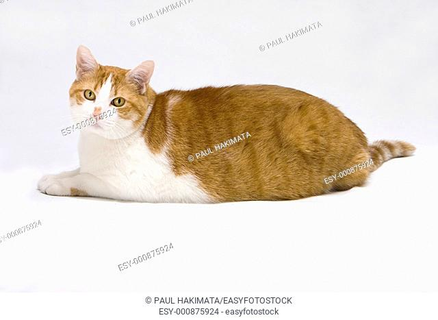 Cute white with orange fat cat laying on the floor, isolated on white