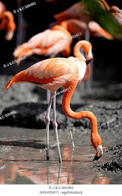 American Flamingo,Phoenicopterus ruber ruber,South America,adult,feeding