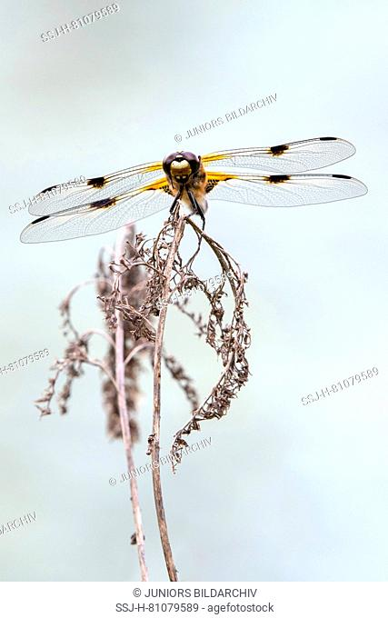 Four-spotted Chaser (Libellula quadrimaculata) on a dry stalk. Austria