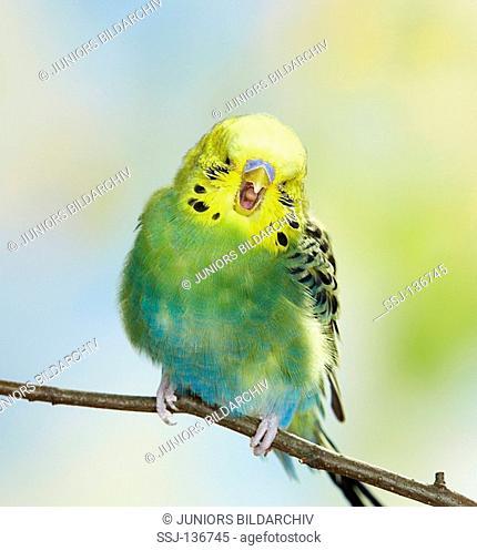 budgerigar - yawning Melopsittacus undulatus restrictions: Tierratgeber-Bücher / animal guidebooks