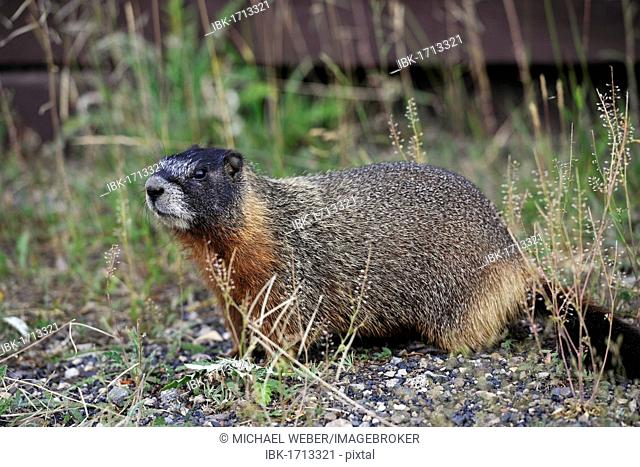 Yellow-bellied marmot (Marmota flaviventris) also known as rock chuck, sitting in front of its burrow, Yellowstone National Park, Wyoming