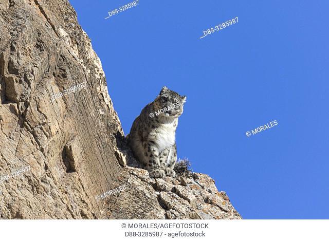 Asie, Mongolie, Ouest de la Mongolie, Montagnes de l'Altai, Panthère des neiges ou Léopard des neiges, Once ou Irbis (Panthera uncia), sur des rochers / Asia
