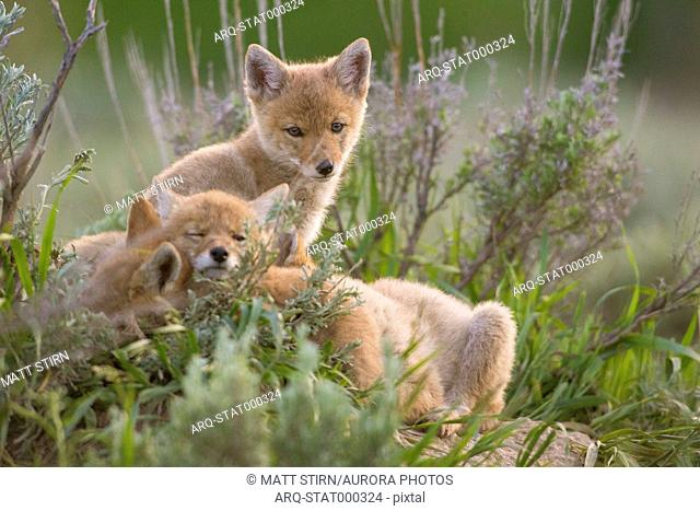 Three coyote pups resting in grass, Jackson Hole, Wyoming, USA