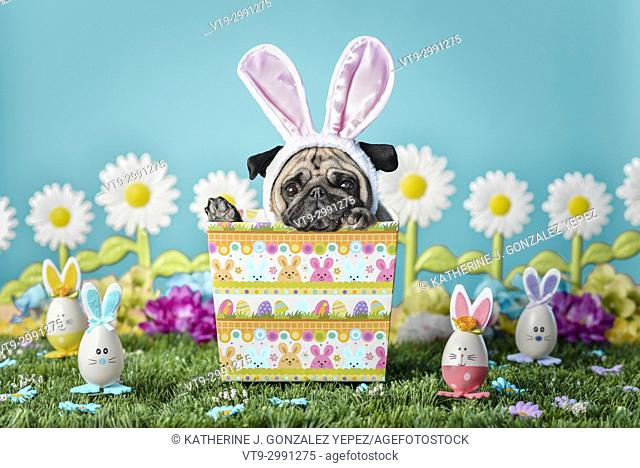 Portrait of a pug dressed up as an easter bunny