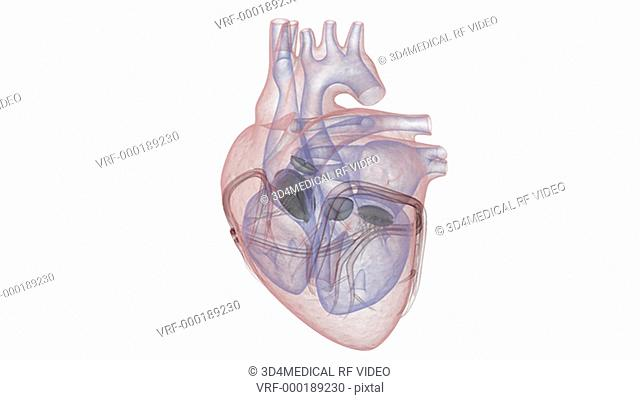 Animation depicting the heart model with an x-ray look rotating 360-degrees. This is part of the primary heart animation
