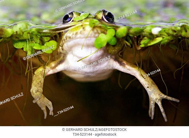 Edible Frog. Rana esculenta. Schleswig-Holstein, Germany