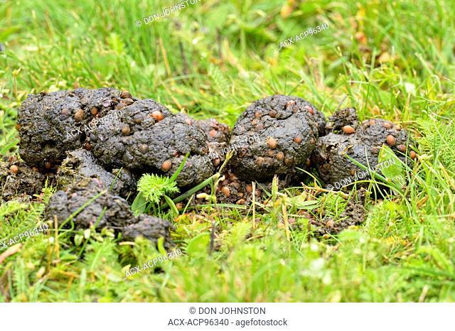 Black bear (Ursus americanus) scat, Greater Sudbury, Ontario, Canada